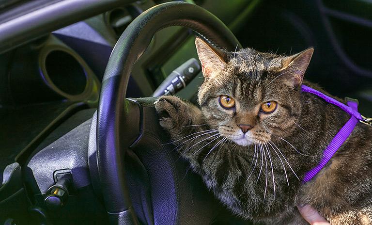 gato libre de estrés en el carro