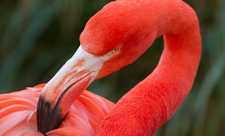 Flamingo del santuario en La Guajira